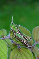 Heide-Grashüpfer, Heidegrashüpfer, Liniierter Grashüpfer, Panzers Grashüpfer, Stenobothrus lineatus, stripe winged grasshopper, stripe-winged grasshopper, lined grasshopper