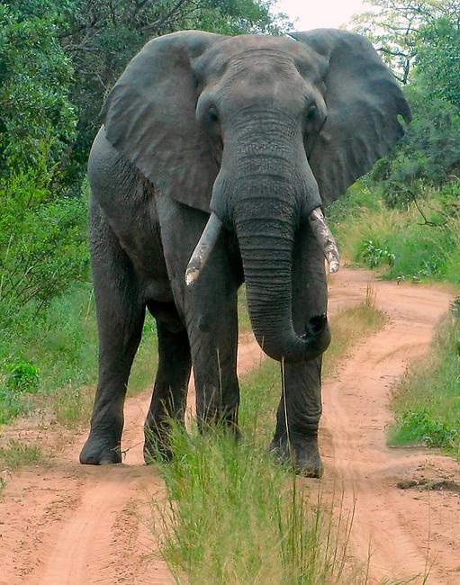 Bull Elephant demonstrating that Elephants Have Right-of-Way, Kasungu National Park