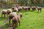 Merino sheep going out to pasture