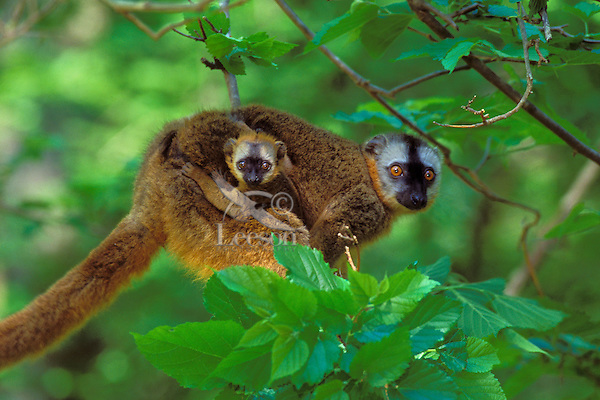 Red-fronted Brown Lemur (Eulemur fulus) mother carrying young.