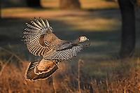 Turkey in flight, San Angelo, Texas