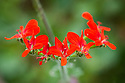 Pelargonium fulgidum, glasshouse, mid May. A species pelargonium with ntense scarlet flowers. Documented since early 1700s, and one of the first pelargoniums to reach Holland from South Africa. A direct parent of P. x ardens.