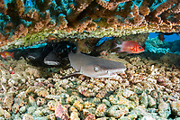 whitetip reef shark, Triaenodon obesus, juvenile, resing under a table coral,  Maldives, Indian Ocean
