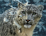 """NOTE FOR ONLINE:  MAXIMUM OF 10 IMAGES TO RUN ALONGSIDE THIS STORY - UNLESS OTHERWISE AGREED WITH A REVISED FEE IN PLACE.<br /> <br /> Pictured:  One of Collin Bogle's realistic paintings: Snow Leopard<br /> <br /> These intricately detailed pictures of wild animals look like photographs - but are in fact paintings.  American artist Collin Bogle's extraordinary work portrays close up encounters with animals such as lions, snow leopards, wolves, eagles and bears.<br /> <br /> He uses photos of the animals as a reference and spends between two weeks and two months painstakingly creating each piece.  Mr Bogle, who works out of his home in Seattle, Washington, in the United States, said: """"My dad is an artist and was also a high school art teacher - so I started learning to paint as soon as I could hold a brush.  SEE OUR COPY FOR DETAILS.<br /> <br /> Please byline: Collin Bogle/Solent News<br /> <br /> © Collin Bogle/Solent News & Photo Agency<br /> UK +44 (0) 2380 458800"""