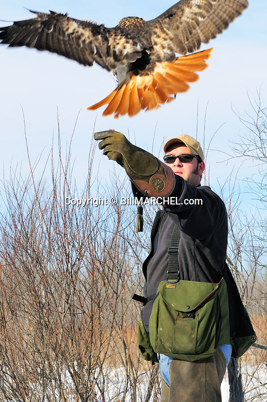 00432-029.07 Falconry:  Falconer call red-tailed hawk to food on gloved fist.  Bird is about to land.