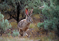 Jackrabbit. Oregon USA John Day Fossil Beds National Monument.