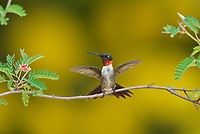 Ruby-throated Hummingbird (Archilochus colubris), male landing on Fairy Duster (Calliandra eriophylla),Hill Country, Central Texas, USA