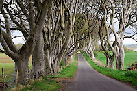 Trees on a road, Co Antrim, Northern Ireland.
