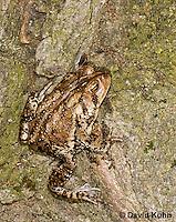 0304-0915  American Toad, © David Kuhn/Dwight Kuhn Photography, Anaxyrus americanus, formerly Bufo americanus