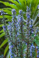 Salvia rosmarinus (syn. Rosmarinus officinalis) 'Tuscan Blue', Rosemary, winter flowering fragrant perennial herb in California garden in front of Echium - Blake Garden