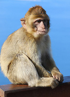 The colony of Barbary Macaques in Gibraltar are considered by many to be the top tourist attraction in Gibraltar. This troop is at the Top of the Rock at the Ape's Den, where people can get especially close to the monkeys. They will often approach and  climb onto people, as they are used to human interaction. Gibraltar. January 9th 2020<br /> <br /> Photo by Keith Mayhew