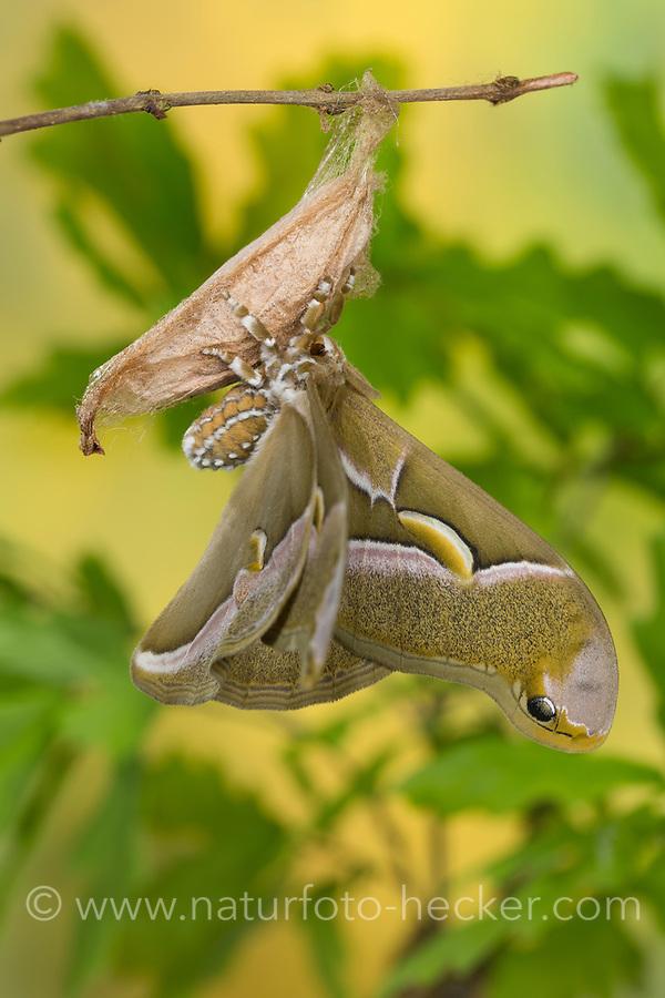 Götterbaum-Spinner, Götterbaumspinner, Ailanthus-Spinner, Ailanthusspinner, Schlupf aus dem Kokon, Puppenkokon, Metamorphose, Samia cynthia, Ailanthus silkmoth, Le Bombyx de l'ailante, Croissant, Pfauenspinner, Saturniidae, saturniid moths