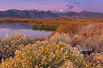 Dawn, Rabbitbrush, Wetlands, Mono Basin National Forest Scenic Area, Inyo National Forest, Eastern Sierra, California