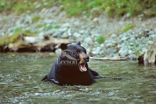 Black Bear cooling off in stream.  Pacific Northwest.  Summer.