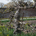 Ancient espalier apple tree, Walled Garden, Hinton Ampner, Hampshire. The very oldest were originally planted in the 1860s.