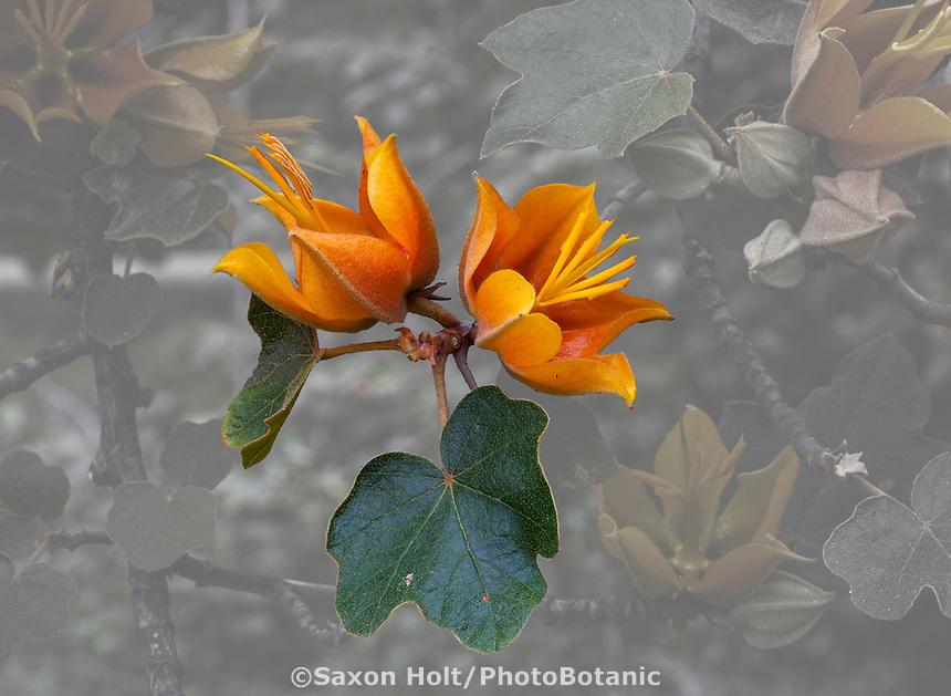 Chiranthomontodendron lenzii (aka  Chiranthofremontia); orange flower of hybrid Monkey Hand tree, extraction  photobotanic silhouette