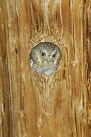 Elf Owl, Micrathene whitneyi, adult in nest hole in telephone post, Madera Canyon, Arizona, USA, May 2005