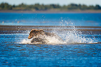 When this Brown Bear spotted a splash among the shallows of The Cook Inlet at low tide, within striking distance, she exploded towards it.  Amazing how fast they can move.  The pursuit ended here, when the bear pounced on the salmon and secured it with her huge paws.  Lake Clark National Park, Alaska.