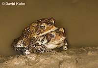 0304-0907  Pair of Toads in Amplexus (Pseudocopulation), Pair of American Toads (Male Tightly Grasping Female) Mating in Temporary Ephemeral Pool of Water, © David Kuhn/Dwight Kuhn Photography, Anaxyrus americanus, formerly Bufo americanus