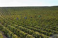 Vineyard. Harvest. Chateau Lafite rothschild, Pauillac, Medoc, Bordeaux, France