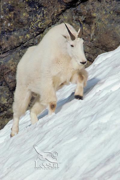 Mountain Goat walking across late melting snow field in mountains of Washington.  Summer.