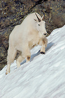 Mountain Goat walking across late melting snow field in mountains of Washington.  Summer.