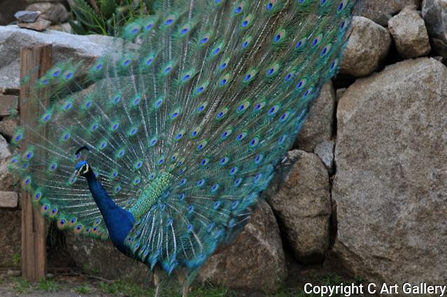 Peacock 2, Irvine Regional Park, CA.
