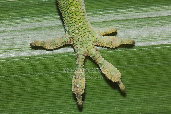 Green Anole (Anolis carolinensis), foot, Sinton, Corpus Christi, Coastal Bend, Texas, USA
