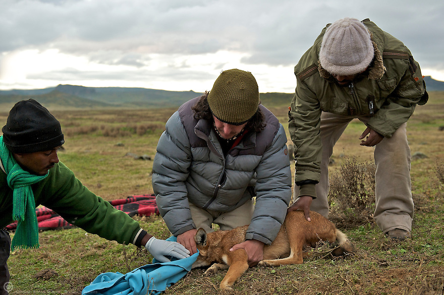 Renown canid researcher Dr Claudio Sillero assesses the health of a captured Ethiopian Wolf.<br /> <br /> Learn more:<br /> http://www.ethiopianwolfproject.com<br /> http://www.ethiopianwolf.org/