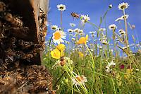 Honey bees - Around the bee hive