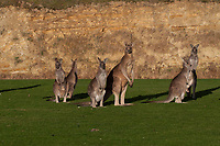 Eastern Grey Kangaroos (Macropus giganteus), Eltham College Environmental Reserve, Research, Victoria, Australia, US