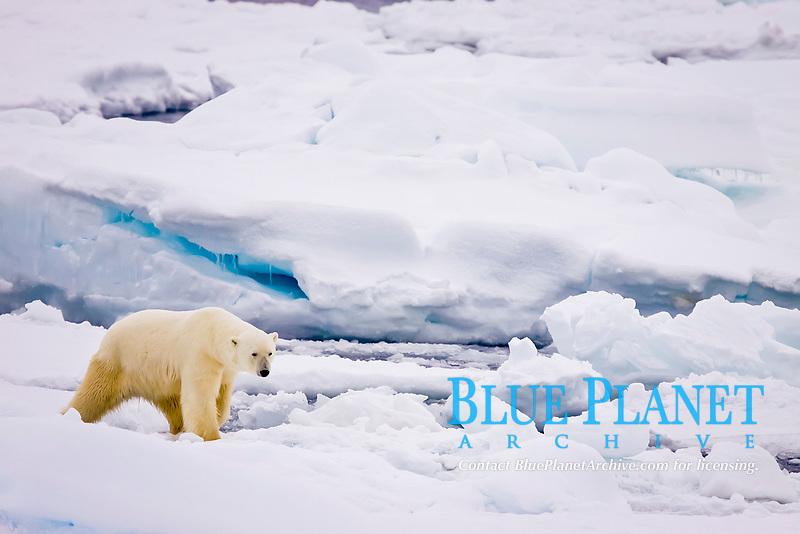 An adult polar bear, Ursus maritimus, on multi-year ice floes in the Barents Sea off the eastern coast of Edgeøya (Edge Island, in the Svalbard Archipelago, Norway, Atlantic Ocean, polar bear, Ursus maritimus