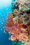 Bligh Waters, Vatu I Ra Passage, Fiji; an aggregation of Scalefin Anthias fish swimming above soft corals and red gorgonian sea fans on the rocky reef wall