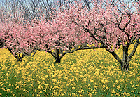 Blooming peach trees and flowering wild mustard, GA