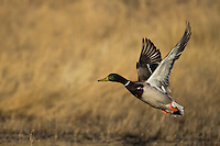 Mallard (Anas platyrhynchos), male taking off, Bosque del Apache National Wildlife Refuge , New Mexico, USA,