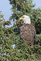 Bald eagle in spruce tree, Katmai National Park, Alaska