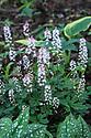 Tiarella (variety unknown), Gertrude Jekyll Water Garden, Vann House and Garden, Surrey, mid June.