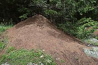 Kahlrückige Waldameise, Kleine Rote Waldameise, Nest, Ameisenhaufen, Ameisenhügel, Formica polyctena, Waldameisen, Wood Ant, Wood Ants, Formica sensu stricto