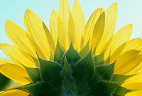 Sunflower pictured from below with backlighting through petals
