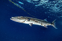 great barracuda, Sphyraena barracuda, Little Cayman, Cayman Islands, Caribbean Sea, Atlantic Ocean