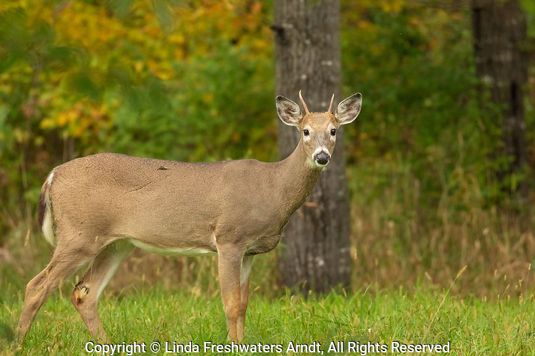 Spike white-tailed buck in a northern Wisconsin field.