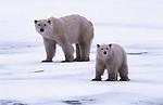 Polar bear mother and cub, Canada