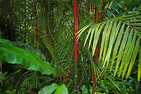 Red trunks of Sealing Wax Palm. Hawaii Tropical Botanical Gardens. Hawaii, The Big Island.