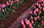 Bulb Farm, Tulips, Willamette Valley, Oregon