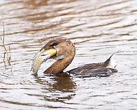 Pied-billed-Grebe swallowing fish, Aransas National Wildlife Refuge, TX