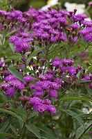 Vernonia 'Mammuth' aka V. arkansana 'Mammuth' aka V. crinita 'Mammuth'