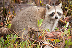 Ding Darling National Wildlife Refuge, Sanibel Island, Florida; a Raccoon (Procyon lotor) forages for food at the water's edge near the mangroves © Matthew Meier Photography, matthewmeierphoto.com All Rights Reserved