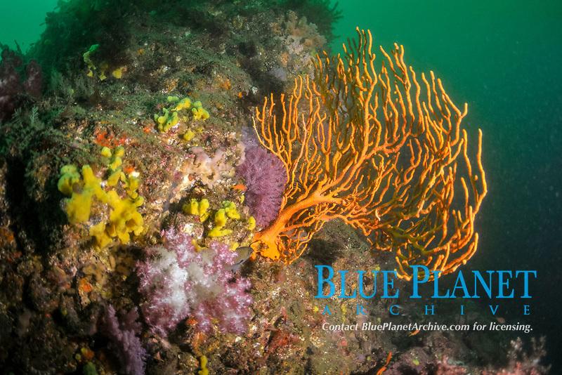 Ascidians and fan coral, Bitagane, Atami, Izu peninsula, Japan