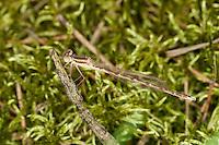 Gemeine Winterlibelle, Männchen, Winter-Libelle, Sympecma fusca, Common Winter Damselfly, Common Winter Damsel