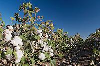 Cotton Plant, Gossypium hirsutum, cotton field, Lubbock, Panhandle, Texas, USA, September 2006
